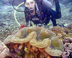 двустворчатый моллюск тридакну